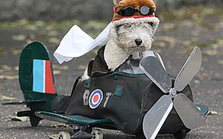 Westie Terrier