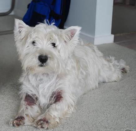Billy, Westie resgatado na Inglaterra por ter sido abandonado após os ataques de lambedura.